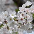 桜の花色の変化