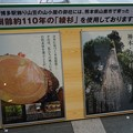 Photos: 01 博多祇園山笠 飾り山 博多駅 2013年 女戦士八重の桜写真10