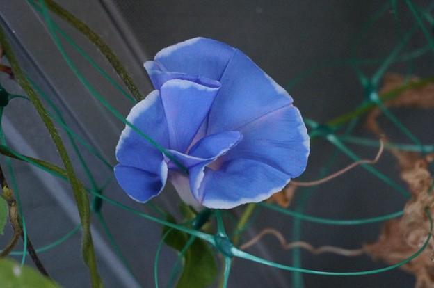 20130917朝顔の花写真 (5)