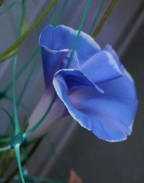20130917朝顔の花写真 (6)
