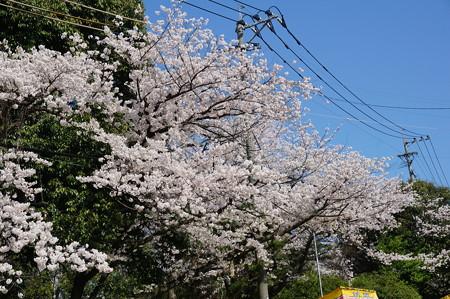【さくら満開 写真】西公園 桜 福岡 2014年3月28日撮影 (11)