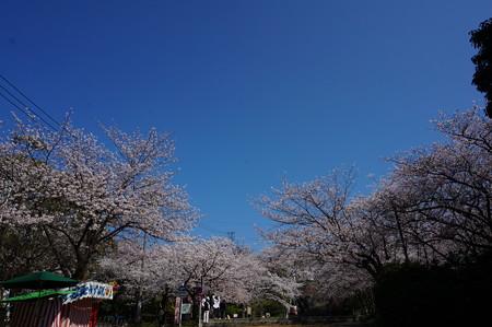 【さくら満開 写真】西公園 桜 福岡 2014年3月28日撮影 (13)