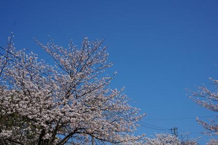 【さくら満開 写真】西公園 桜 福岡 2014年3月28日撮影 (15)