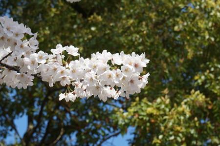 【さくら満開 写真】西公園 桜 福岡 2014年3月28日撮影 (20)
