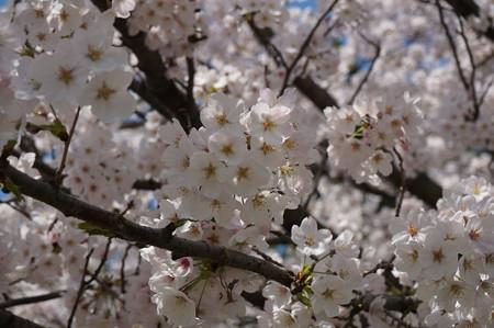 【さくら満開 写真】西公園 桜 福岡 2014年3月28日撮影 (64)