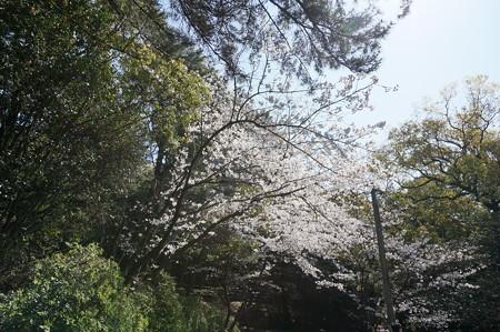 【さくら満開 写真】西公園 桜 福岡 2014年3月28日撮影 (67)