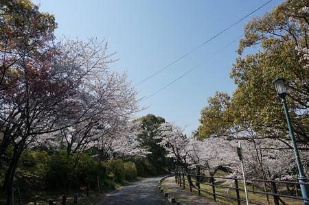 【さくら満開 写真】西公園 桜 福岡 2014年3月28日撮影 (71)