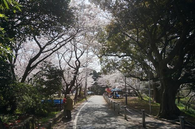 【さくら満開 写真】西公園 桜 福岡 2014年3月28日撮影 (74)