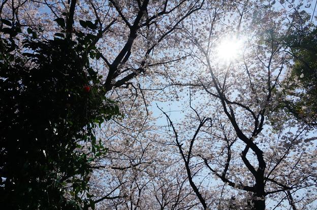 【さくら満開 写真】西公園 桜 福岡 2014年3月28日撮影 (75)