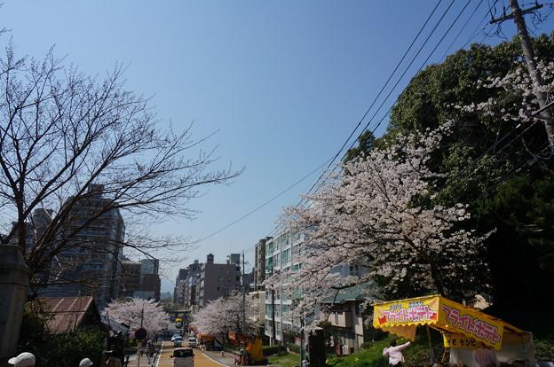 【さくら満開 写真】西公園 桜 福岡 2014年3月28日撮影 (82)