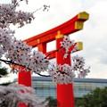 Photos: 平安神宮大鳥居と桜