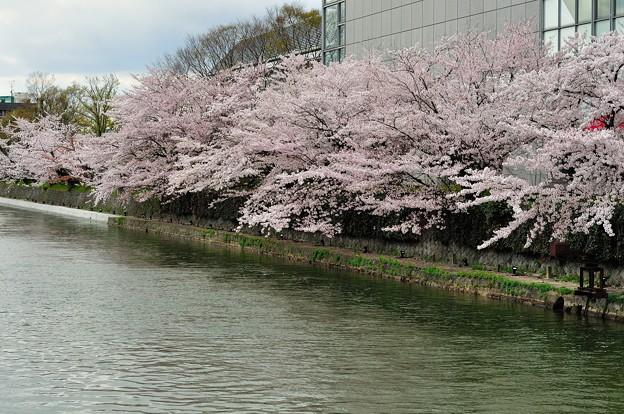 琵琶湖疎水の桜回廊