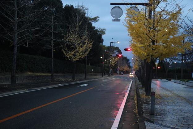 明け方の銀杏並木