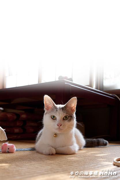 お気に入りのネコのおもちゃ - マンチカンももちゃん