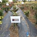 Photos: オラールのバラ