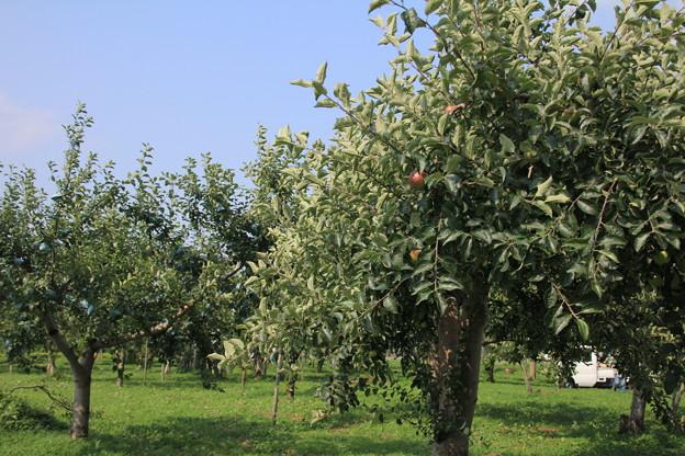 りんご園とスモモ01-12.07.28