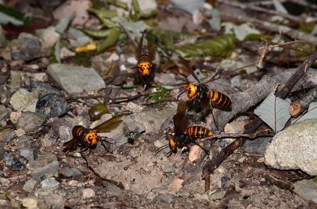 オオスズメバチとクロスズメバチ