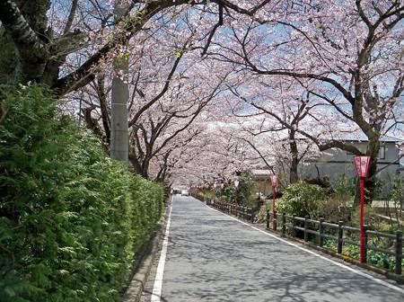 岳温泉の桜坂