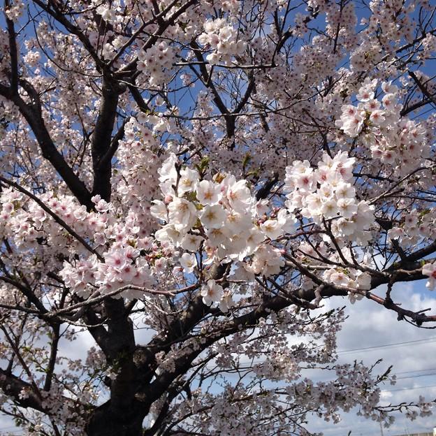Photos: 桜満開。
