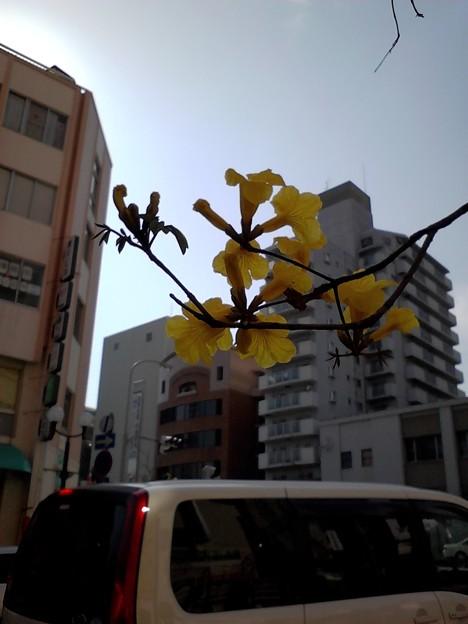 神戸のイペーの花2