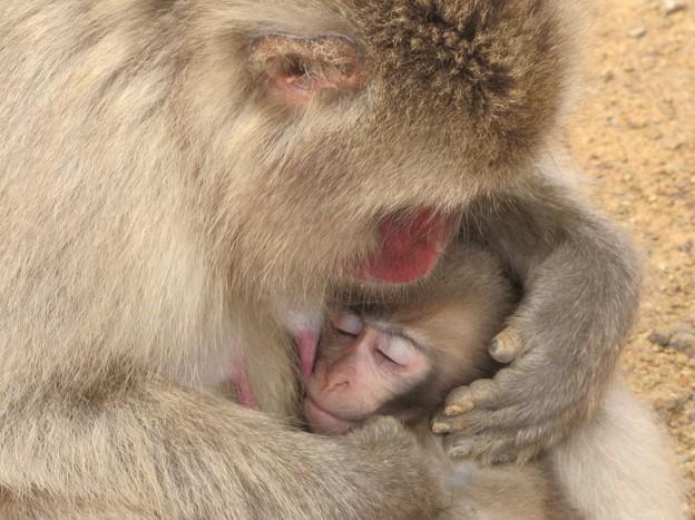 【5】日本猿の赤ちゃん {6月20日}