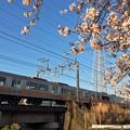 JR東海313系と桜