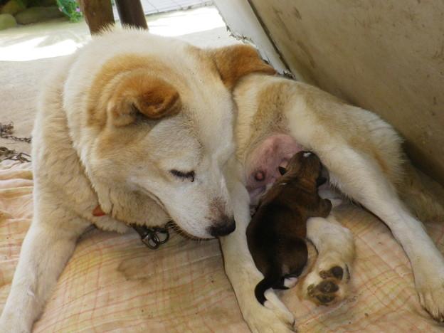 ゴマと子犬