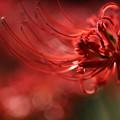 Photos: 燃える赤い花1