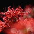 Photos: 燃える赤い花3