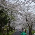 母智丘(もちお)公園の桜の並木道(トンネル)