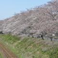 下原田町JR沿いの桜