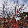 Photos: 真っ赤な桜