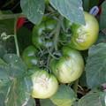 Photos: 夏野菜の代表!まだまだこれから!
