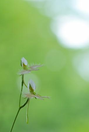 鷺草の夏。