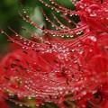 写真: 雨の贈り物。