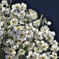 写真: 秋明菊。