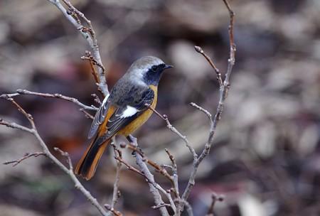 新春初鳥。