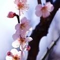 二分咲き。