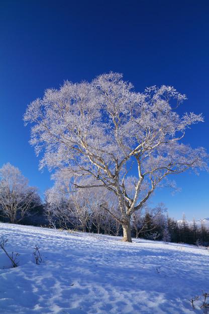 厳寒の青空に映える霧氷