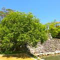 史跡 広島城 被爆樹木 マルバヤナギ Historical ruins of Hiroshima castle a-bombed tree Willow 広島市中区基町