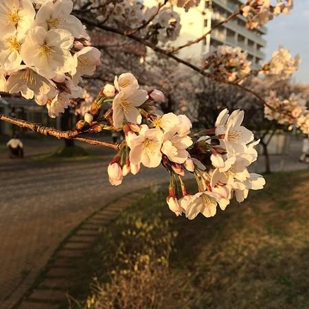 夕日に、桜に。
