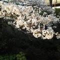 写真: 桜2
