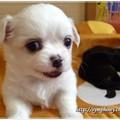 パピヨン&チワワの子犬