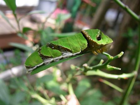 モンキアゲハ終齢幼虫