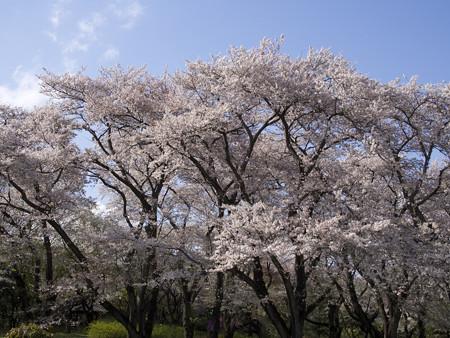 神代植物公園(8)