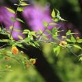 八重桜と山吹の花