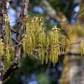 クヌギの穂条花序