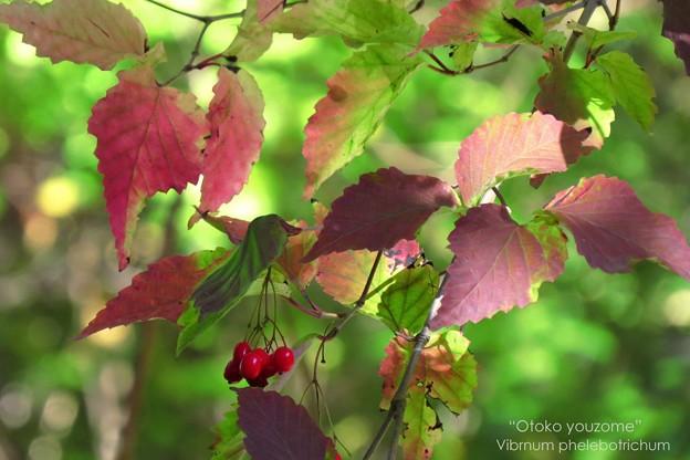 Photos: ガマズミの紅葉