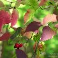 ガマズミの紅葉