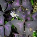 オキザリス ・トライアングラス(紫の舞)